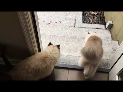 Ragdolls Cats Charlie and Trigg in Snow December 2016 - Floppycats