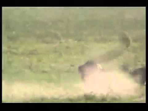 110km h Cheetah attack gazelle
