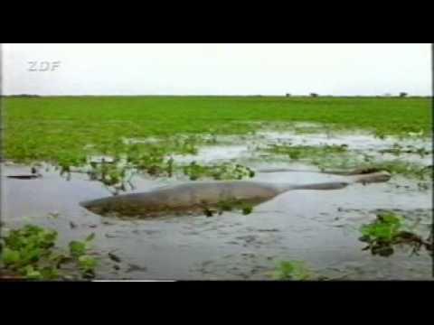 Aninimal Book: anaconda vs capybara extends - YouTube