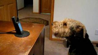 Stanley the Singing Airedale Talks on the Phone ...