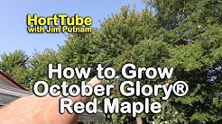 How to grow October Glory Red Maples - Red Fall Foliage Shade Tree
