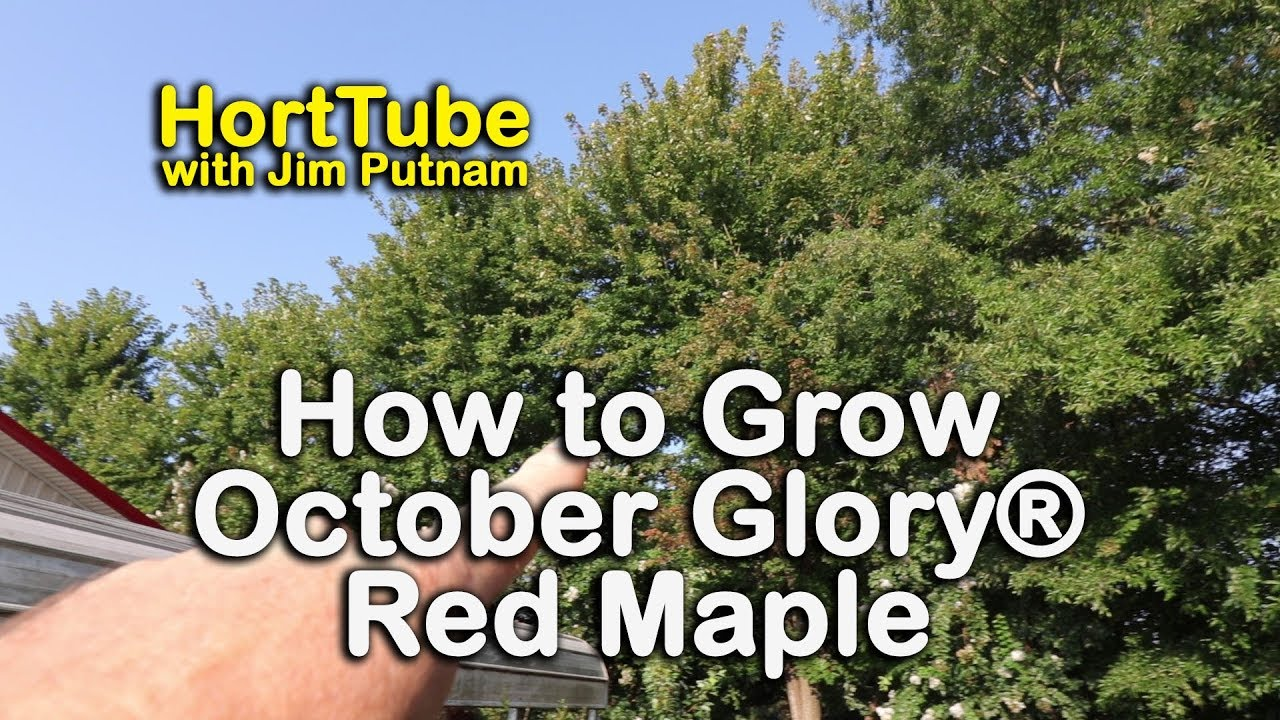 How to grow October Glory® Red Maples - Red Fall Foliage Shade Tree ...