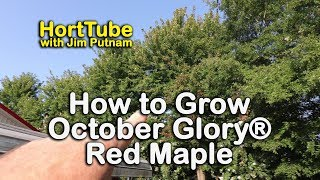 How to grow October Glory® Red Maples - Red Fall Foliage Shade Tree