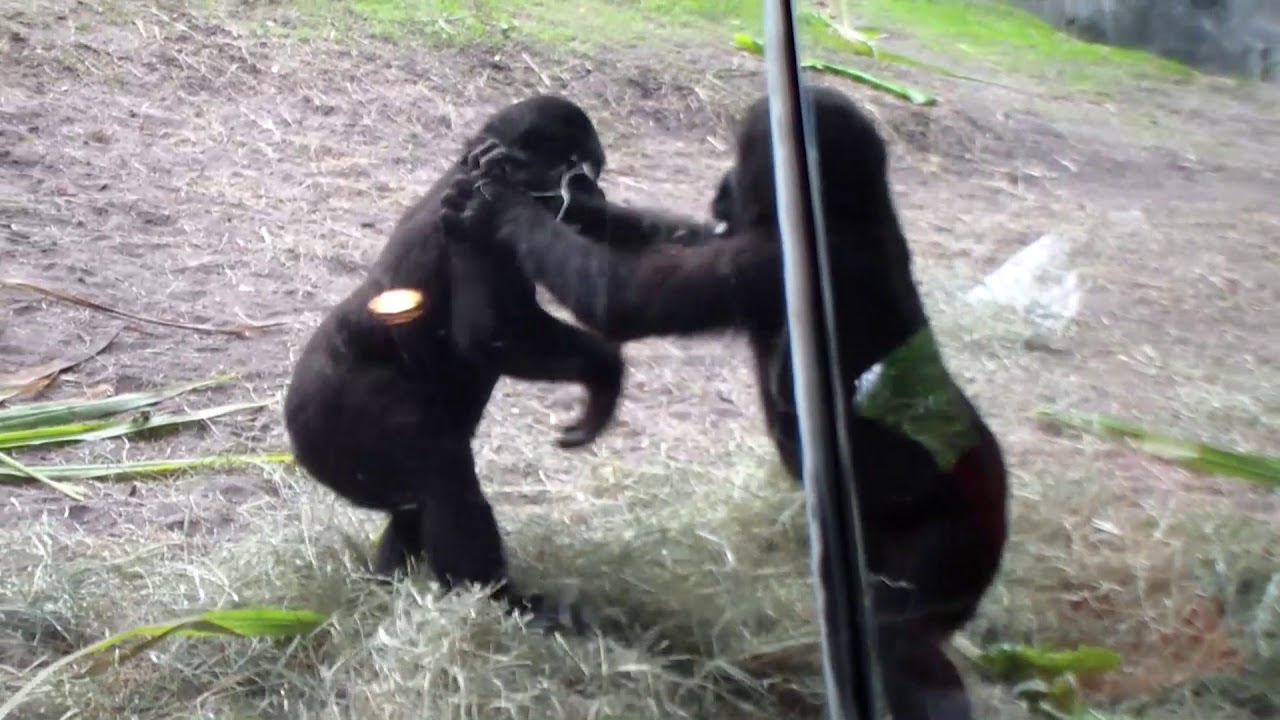 Mischievous gorilla picks a fight - YouTube
