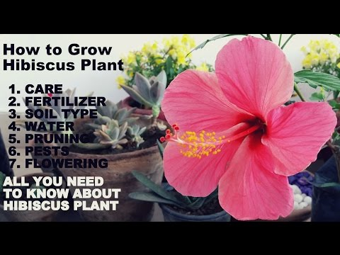 How To Grow Hibiscus Plantfull Information With Tips Youtube