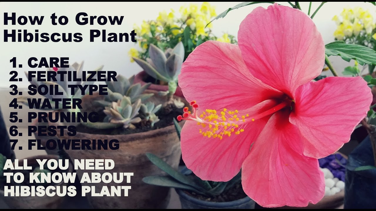 How To Grow Hibiscus Plant Full Information With Tips Youtube