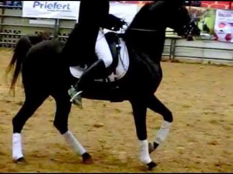Arabian Dressage Horse - Horse Side