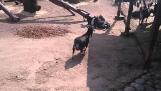 Беззаботные козлы