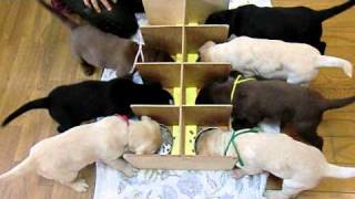 英国ラブラドールのエメラルドの子犬は、生後50日になりました。食事の...