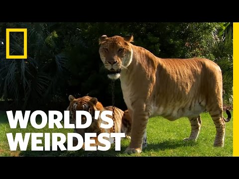 Lions, Tigers and Ligers! | World's Weirdest