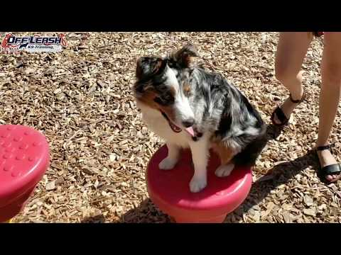 """7 Month Old Australian Shepherd """"Brexley"""" Before/After Video 