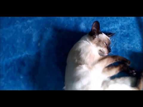 Cute Cat! Friendly Short-Tailed Cat