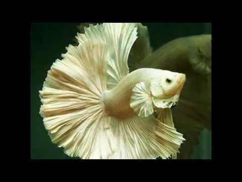 ikan arwana termahal di dunia yang sedang dipanenkan | Doovi