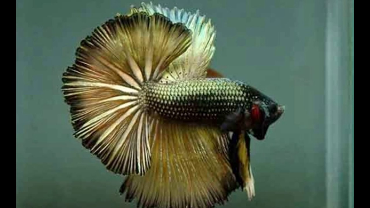 Ikan Cupang Termahal Di Dunia Harga Puluhan Juta - YouTube