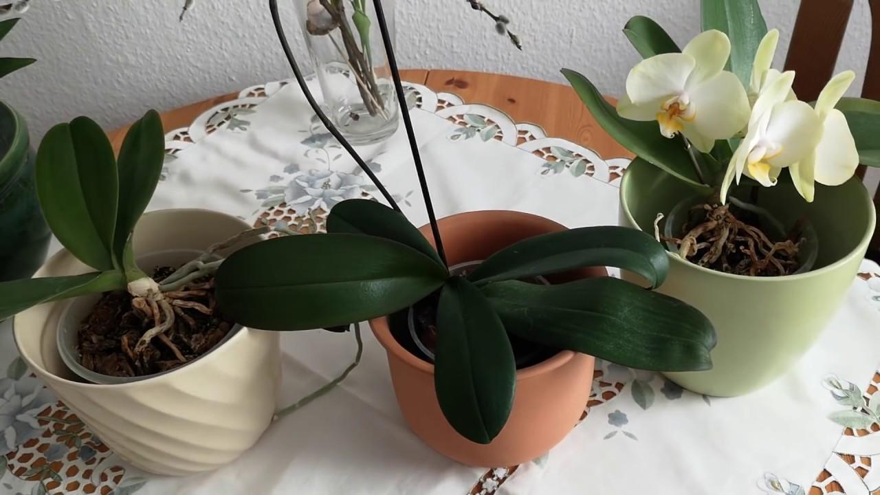 Co Zrobic Po Przekwitnieciu Storczyka Orchidei Youtube