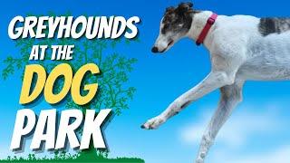 Greyhounds at the dog park