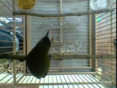 burung kaca mata pleci papua ...purwasaba gapplorz - YouTube c13e872244