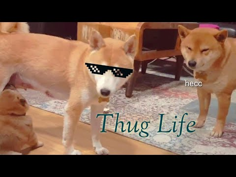 Suki destroyed Shiro / Shiba Inu puppies (with captions)