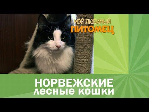 Норвежская лесная кошка: особенности породы