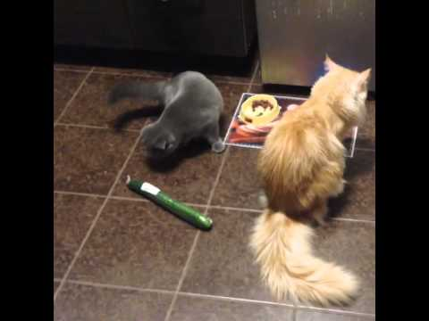 Russian cats are not afraid of cucumbers!! Maine-coon Marseille and Scottish fold Melissa 🐾