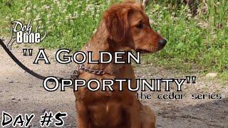 Training a High Energy Golden Retriever : A Golden Opportunity | Day #5