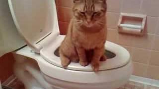 cat peeing in toilet
