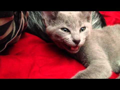 Russian Blue Kitten/Cat Talking