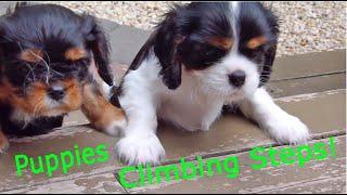 Puppy Report:  Climbing Steps