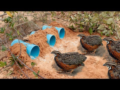 Awesome Quick Bird Trap Using Deep Hole With PVC - Easy Best Bird Traps Work 100%