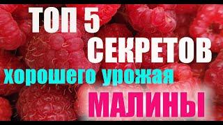 #Малина #Ягода #Природа 2 ТОП 5 СЕКРЕТОВ малины   Вкусная и полезная Ягода   Приятного аппетита