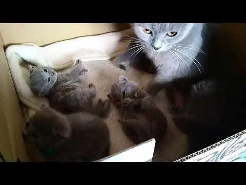 20171001Bluetreasure chartreux Kitten