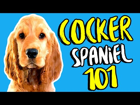 English Cocker Spaniel 101 🐶 Dog Breeds