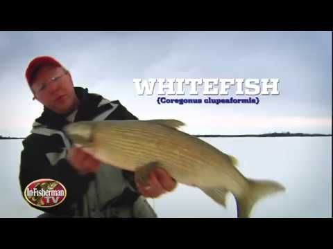 Whitefish Ice Fishing Action