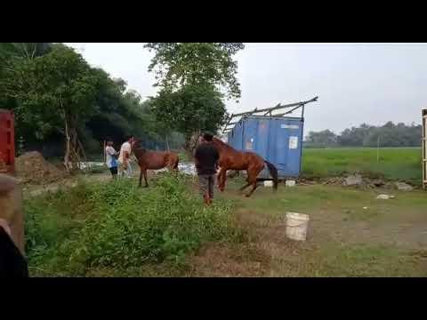 Memaksa Kuda Kawin Sampai Marah Berat