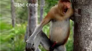Самые смешные обезьяны с огромным носом. (Funny monkey).
