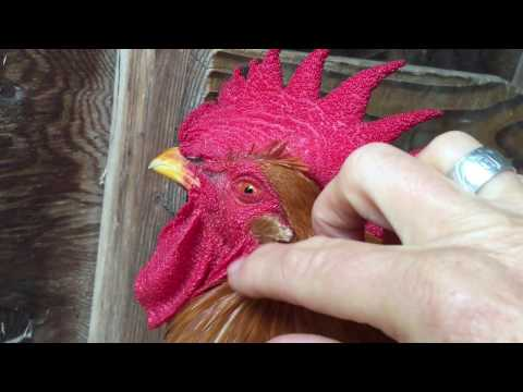 Rooster Massage