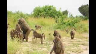 Uganda: pawiany w QE