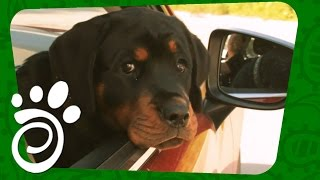 Транспортировка Собак (Часть Первая). Все О Домашних Животных