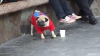 Pug In Greenbelt 3 - Manila, Philippines