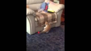 Кошка экзот играет с мячиком