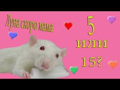 Вопрос: Как определить что крыса болеет?