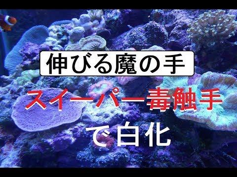 海水水槽毒触手スイーパーでサンゴが白化 ww