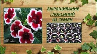 видео Глоксиния гибридная, синингия (Siningia hybrida hort.)