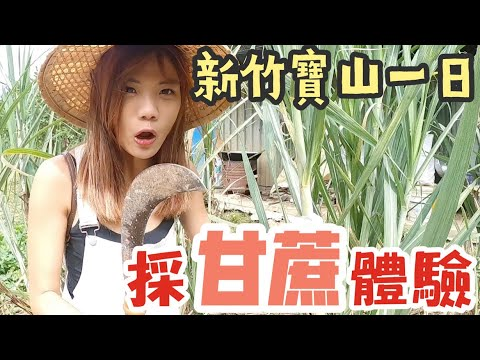 新竹寶山 採收甘蔗自己來!!小孩竟然不知道甘蔗可以直接咬?