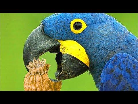 Попугаи наркоманы в
