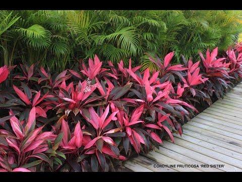 Cordyline fruticosa 'Red Sister' - Hawaiian Ti, Good Luck Tree