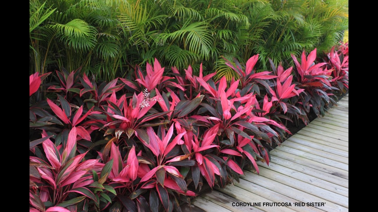 Cordyline fruticosa red sister hawaiian ti good luck tree youtube youtube premium izmirmasajfo