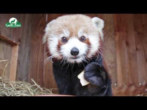 Un panda roux mange une poire, adorable !