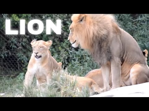 male lion with cubs - 480×360