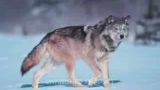 Das Tier In Mir Wolfen - A Wolf Tribute